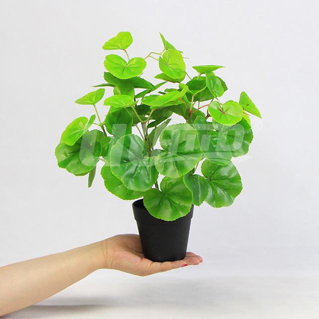 小盆栽绿海棠
